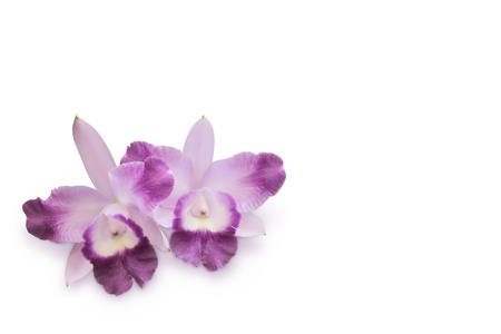 Two purple orchid flowers photo