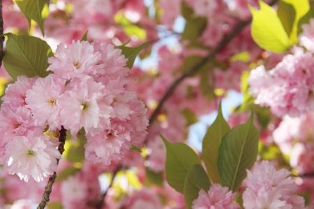 Cherry blossoms Stok Fotoğraf