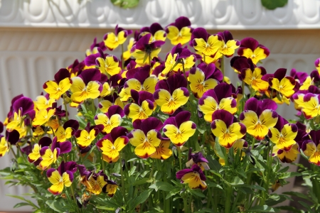 pansies: Pansy flowers Stock Photo