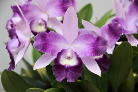 Beautiful purple orchid - Phalaenopsis Reklamní fotografie - 19628783