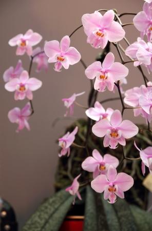 Beautiful pink orchid - Phalaenopsis  Stok Fotoğraf