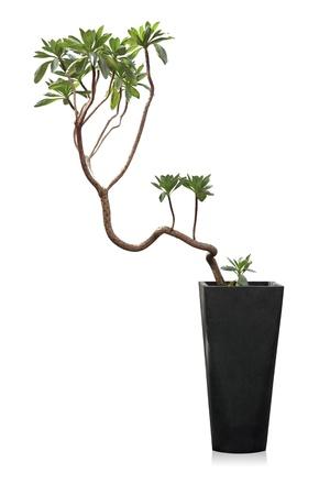 観葉植物スナビキソウ白地に分離された近代的な鉢植え 写真素材
