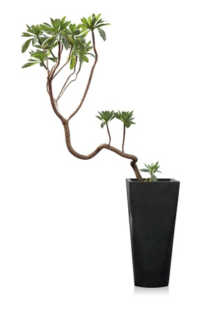 Houseplant, a potted modern plant isolated on white  Messerschmidia  background