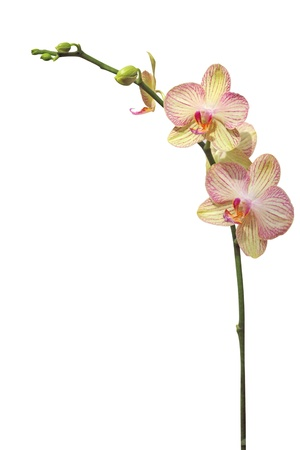 orchid flower, isolated on white Stok Fotoğraf