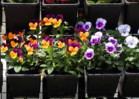 Colorful pansy planters in a garden photo