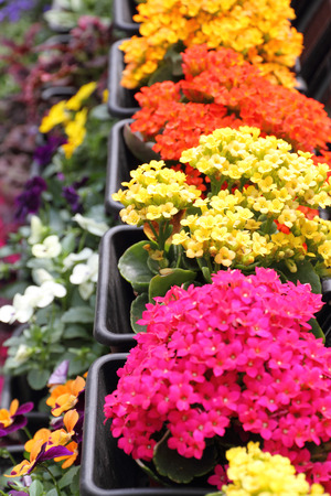 Colorful Kalanchoe planters in a garden