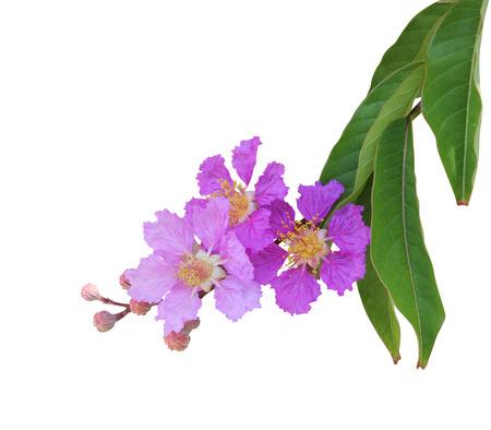 Purple crape myrtle flower Stok Fotoğraf