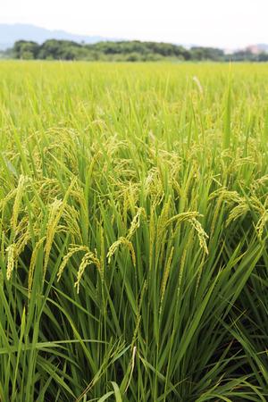 Rice field Stok Fotoğraf - 29872866