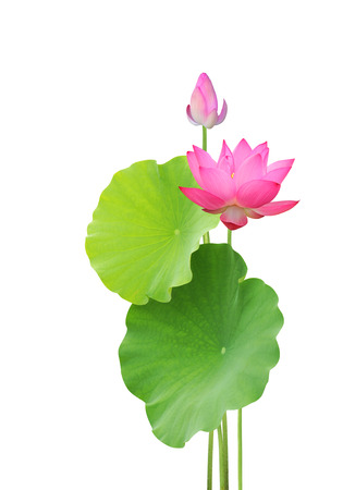 pink lotus: lotus flower and leaves isolated on white background Stock Photo