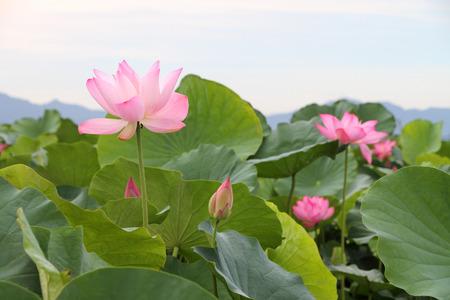 Beautiful lotus flower blooming in early summer Stok Fotoğraf