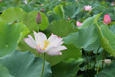 Beautiful lotus flower blooming in early summer Stok Fotoğraf - 29872883