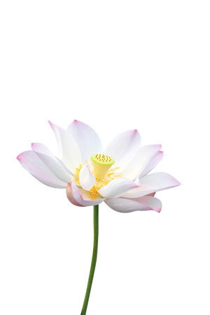 lotus flower isolated on white background Stok Fotoğraf - 29872884