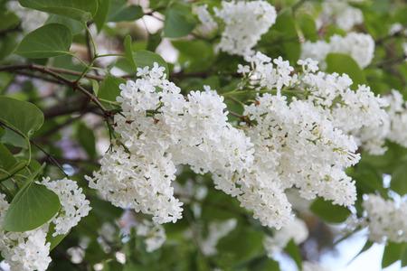 White Syringa Vulgaris blossoming