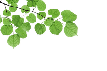 Branch with fresh green leaves  isolated on white background Stok Fotoğraf
