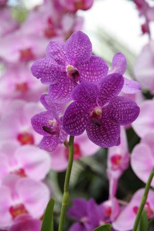 Purple orchid, Vanda coerulea Stok Fotoğraf - 43582297