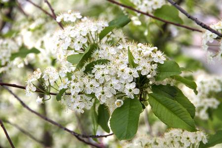 prunus: Prunus padusBird Cherry blossoming Stock Photo