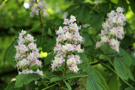 Horse chestnut Aesculus hippocastanum, Conker tree flowers Stok Fotoğraf - 43582932