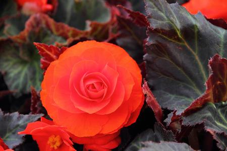 Red Begonia flower Stok Fotoğraf - 43582951