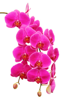 Purple orchid isolated on white background Stok Fotoğraf