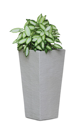 indoor plants: Potted house plant isolated in white background - Diffenbachia