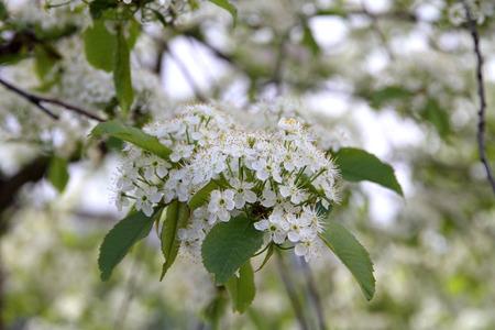 Prunus padusBird Cherry blossoming Stok Fotoğraf - 43583153