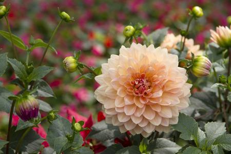 Dahlia flower blossoming Stok Fotoğraf - 43583168