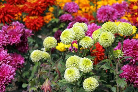 Chrysanthemum flowers blossoming Stok Fotoğraf - 43583171