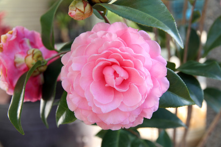 Camellia flower blossoming