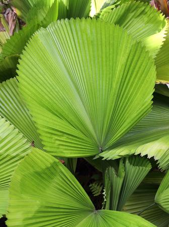 frond: Green palm leaf