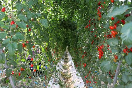tomate cherry: Tomate granja Foto de archivo