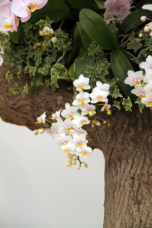 White orchid blossoming Stok Fotoğraf - 43488739