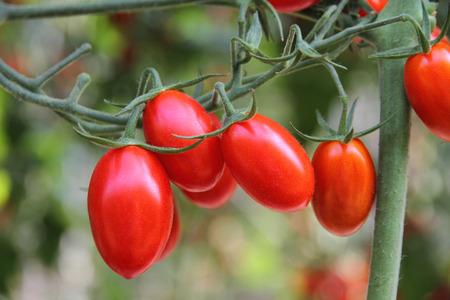 新鮮なトマトの植物 写真素材