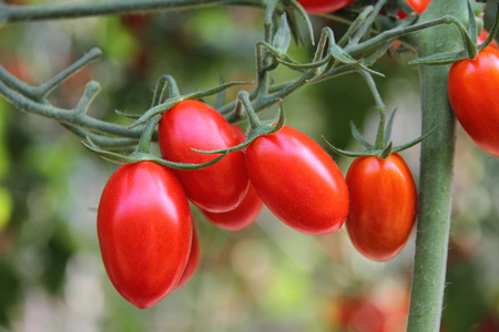 Fresh tomatoes plants Foto de archivo