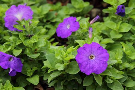Purple Petunia flower Stok Fotoğraf - 43488715