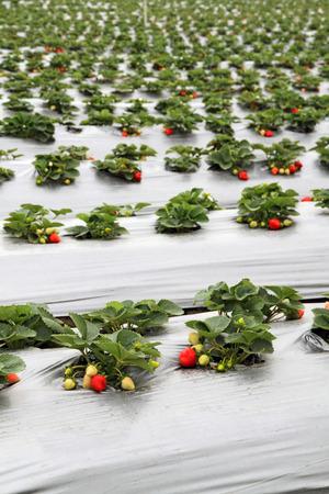 Organic strawberry farm Stok Fotoğraf - 55944377