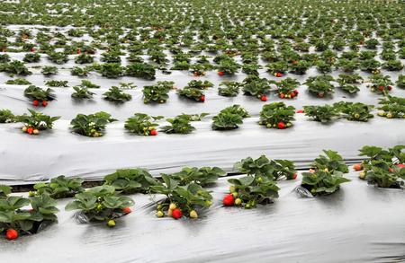 Organic strawberry farm