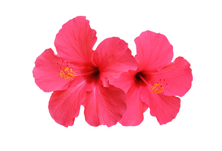 Two hibiscus flowers isolated on white background