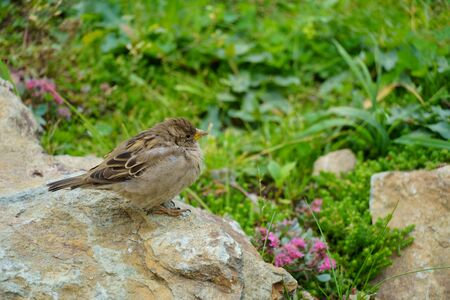 Sparrow sitting on a rock on the background of green land