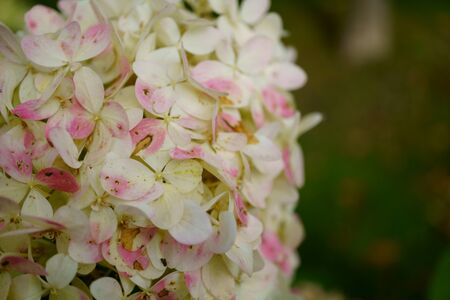 bunches of white hydrangea flowers, light rose petals. macro photo