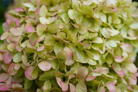 bunches of green hydrangea flowers, light green petals. close up