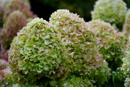 bunches of green hydrangea flowers, light green petals close up Stock Photo