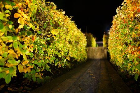orange - green autumn bush at night with backlight. glowing bush in the park at night. Stok Fotoğraf