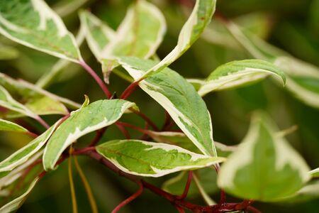 Cornus alba Argenteomarginata. Close up photo. Sibirica Variegata 版權商用圖片