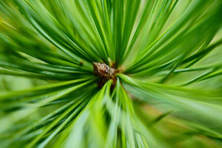 beautiful pine branch. Macro photo of needles of a pine bright green branch