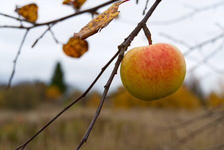 lonely organic apple on apple tree, autumn has come, its time to harvest apples Фото со стока