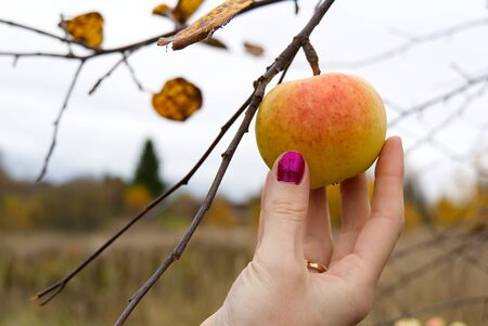 female hand picks apples. Autumn is the time to collect the most delicious juicy apples.