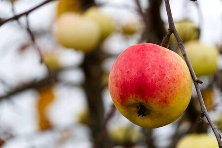 beautiful apple on apple tree, autumn harvest time. close up