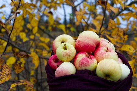 ecological apples gathered in a scarf. Autumn background Фото со стока