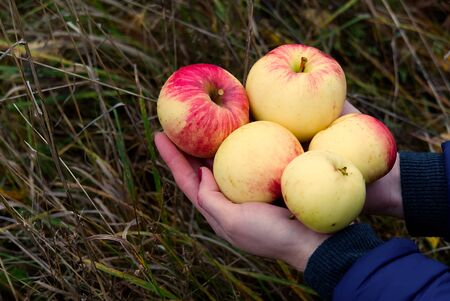 pretty woman holds apples in her hand. Fresh ecological apples collected in autumn the most useful vitamin for girls