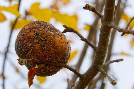 rotten apple on apple tree, close up photo